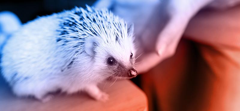 Hedgehog | Illegal Pets in California